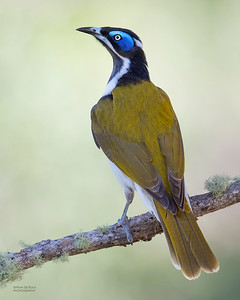 Blue-faced Honeyeater, Tallai, QLD, June 2018
