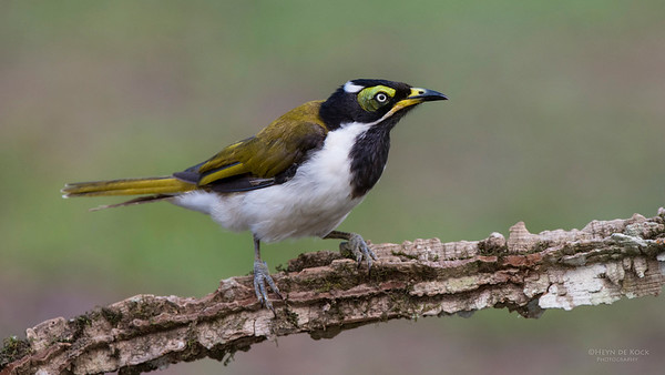 Blue-faced Honeyeater, imm, Tallai, QLD, Dec 2014