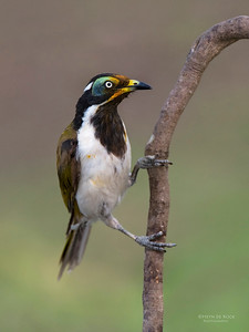 Blue-faced Honeyeater, Tallai, QLD, Dec 2014-4