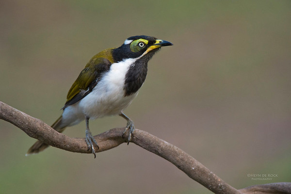 Blue-faced Honeyeater, imm, Tallai, QLD, Dec 2014-1