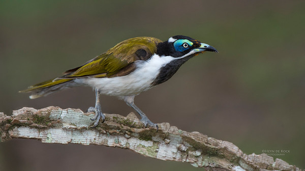 Blue-faced Honeyeater, Tallai, QLD, Dec 2014-2