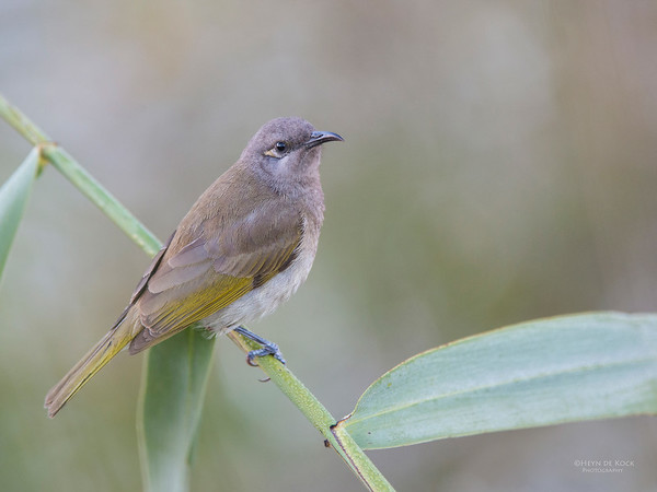 Brown Honeyeater, Sandy Camp Wetlands, QLD, Aus, Jun 2013