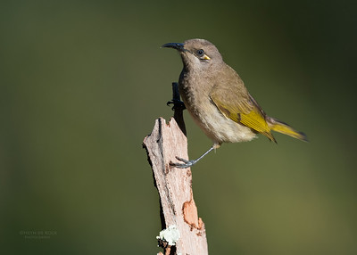 Brown Honeyeater, Hinterland Regional Park, Gold Coast, QLD, Aus, Sept 2017-1