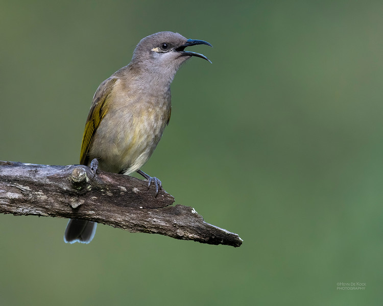 Brown Honeyeater, Oxley Creek Common, Brisbane, QLD, Jul 2018-2