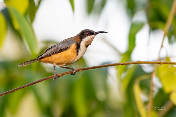 Eastern Spinebill, Oxley Creek Common, QLD, Jul 2018