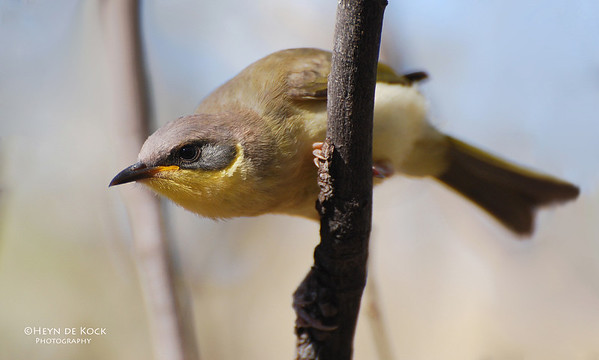 Grey-headed honeyeater, imm, Karijini NP, WA, Sep 2008