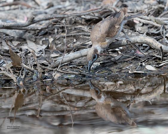 Little Friarbird, Wangaratta, VIC, Oct 2018
