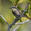 Mangrove Honeyeater, Tin Can Bay, QLD, March 2017-2