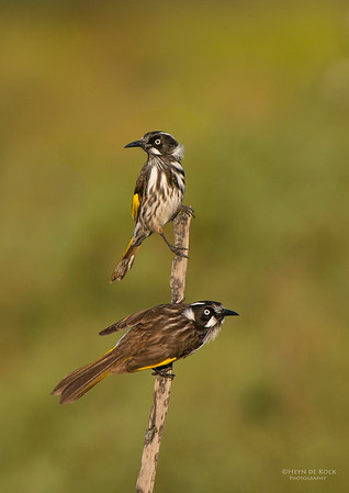 New-Holland Honeyeaters, Booderee NP