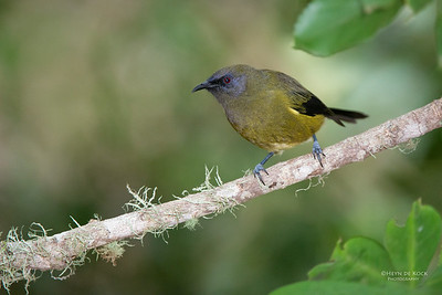 Bellbird, Tiritiri Matangi, NZ, March 2015-3