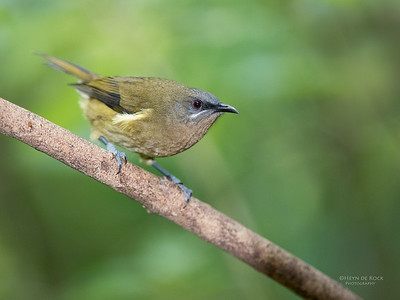 Bellbird, Tiritiri Matangi, NZ, March 2015