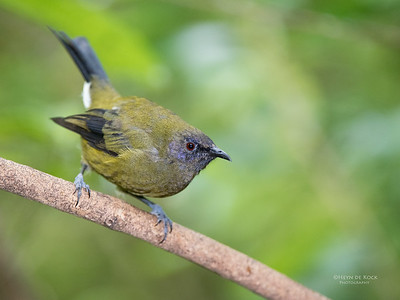Bellbird, Tiritiri Matangi, NZ, March 2015-1
