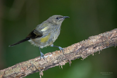 Bellbird, imm, Tiritiri Matangi, NZ, March 2015