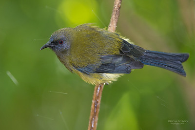 Bellbird, Tiritiri Matangi, NZ, March 2015-6