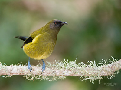 Bellbird, Tiritiri Matangi, NZ, March 2015-4