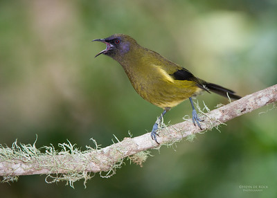 Bellbird, Tiritiri Matangi, NZ, March 2015-5