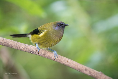 Bellbird, Tiritiri Matangi, NZ, March 2015-2