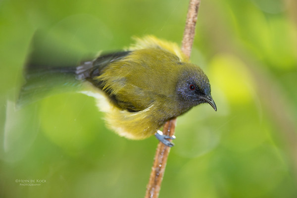 Bellbird, Tiritiri Matangi, NZ, March 2015-7