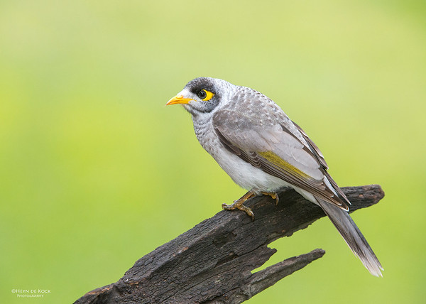 Noisy Miner, Tallai, QLD, Aus, April 2013