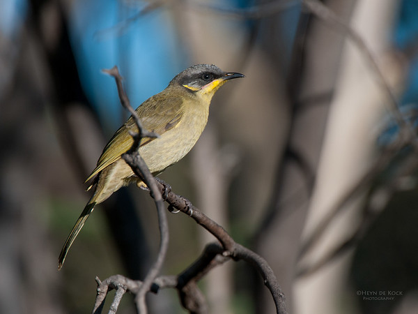 Purple-gaped Honeyeater, Innes NP, SA, May 2011