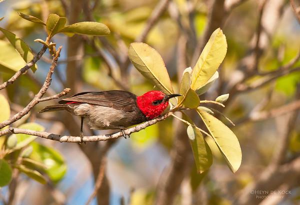 Red-headed Honeyeater, Kakadu NP, NT, Aus, Oct 2010-2