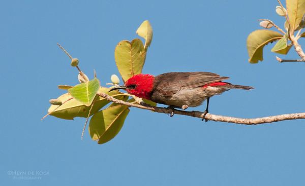 Red-headed Honeyeater, Kakadu NP, NT, Aus, Oct 2010-3