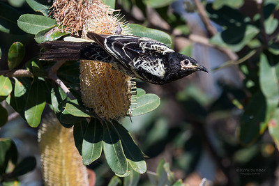 Regent Honeyeater, Woolgoolga, NSW, Aus, Aug 2017-6