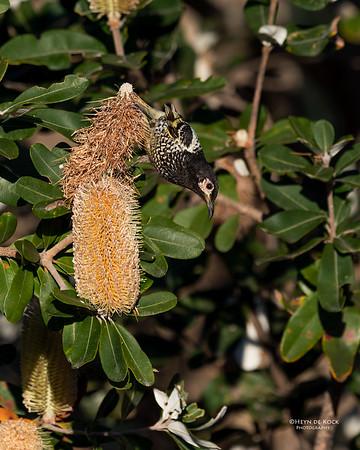 Regent Honeyeater, Woolgoolga, NSW, Aus, Aug 2017-2