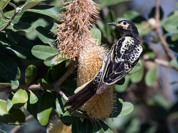 Regent Honeyeater, Woolgoolga, NSW, Aus, Aug 2017-7