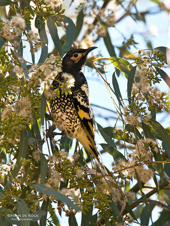 Regent Honeyeater, Singleton, NSW, Aus, May 2010
