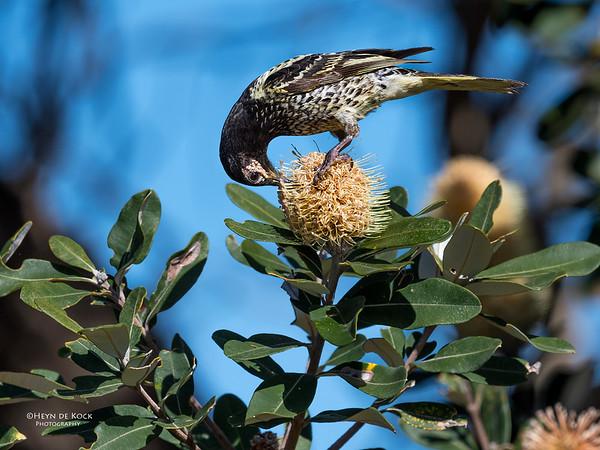 Regent Honeyeater, Woolgoolga, NSW, Aus, Aug 2017-3