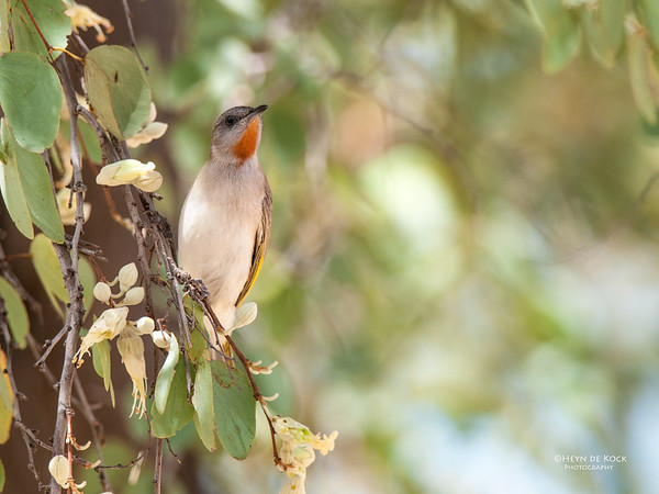 Rufous-throated Honeyeater, Mt Isa, QLD, Sep 2010-1