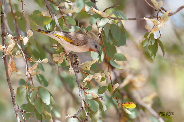 Rufous-throated Honeyeater, Mt Isa, QLD, Sep 2010
