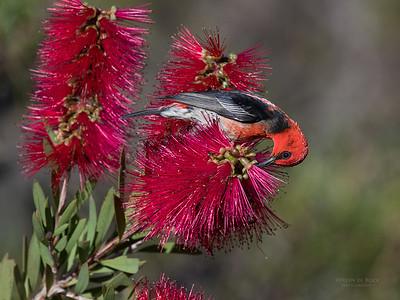 Scarlet Honeyeater, Vincentia, NSW, Aus, Nov 2016-2