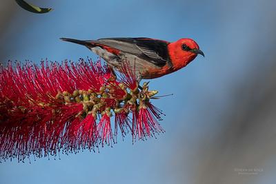 Scarlet Honeyeater, Vincentia, NSW, Aus, Nov 2016-3
