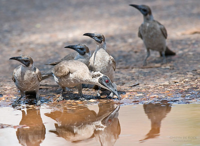 Silver-crowned and Little Friarbirds, Timber Creek, NT, Aus, Sept 2010-1
