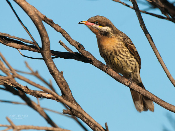 Spiney-cheecked Honeyeater, Innes NP, SA, May 2011