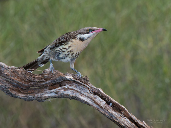 Spiney-cheeked Honeyeater, Gluepot, SA, Aug 2012-1