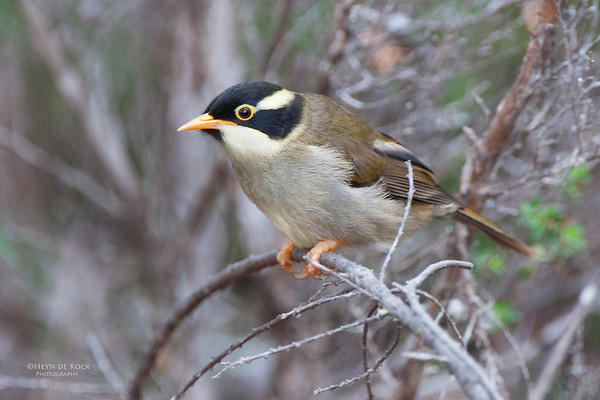 Strong-billed Honeyeater, imm, Bruny Island, TAS, Feb 2011-2