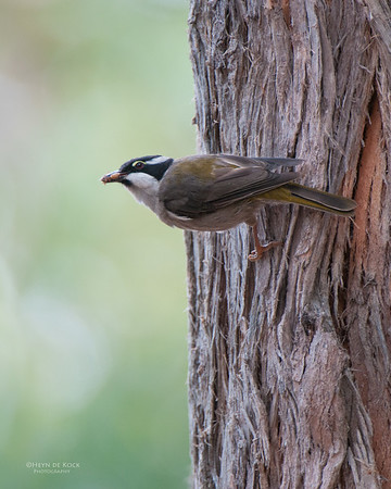 Strong-billed Honeyeater, Bruny Island, TAS, Feb 2011-1