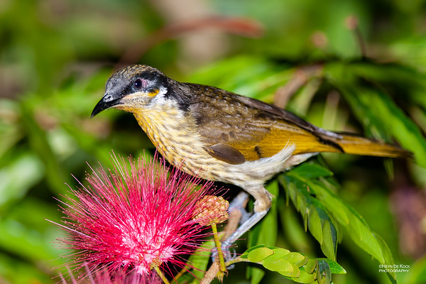 Varied Honeyeater, Portland Roads, QLD, Dec 2009