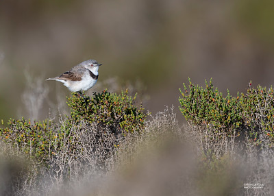 White-fronted Chat, f, Avalon, VIC, Oct 2018-1