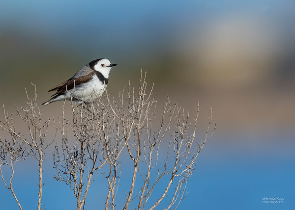 White-fronted Chat, Avalon, VIC, Oct 2018-2
