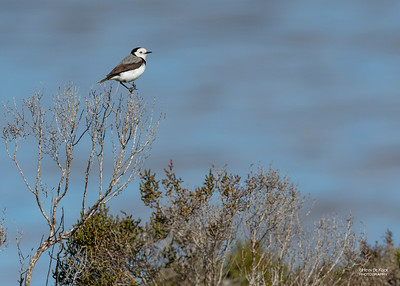 White-fronted Chat, Avalon, VIC, Oct 2018-4