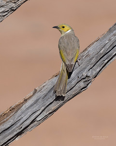 White-plumed Honeyeater, Bowra, Cunnamulla, QLD, Aus, Sept 2017-3