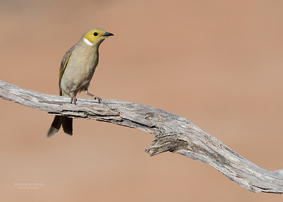 White-plumed Honeyeater, Bowra, Cunnamulla, QLD, Aus, Sept 2017-1
