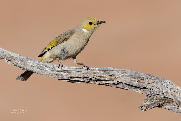 White-plumed Honeyeater, Bowra, Cunnamulla, QLD, Aus, Sept 2017-2