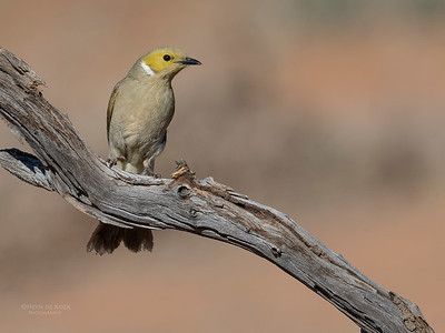 White-plumed Honeyeater, Bowra, Cunnamulla, QLD, Aus, Sept 2017-5