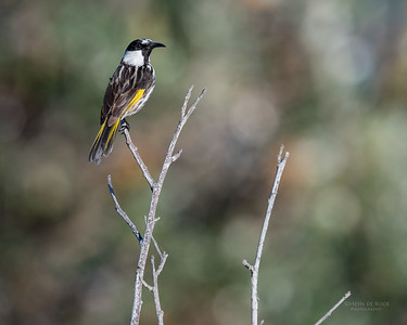 White-cheecked Honeyeater, Woolgoolga, NSW, Aus, Aug 2017-2