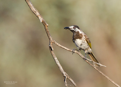 White-fronted Honeyeater, Gluepot, SA, Aus, Oct 2011-1